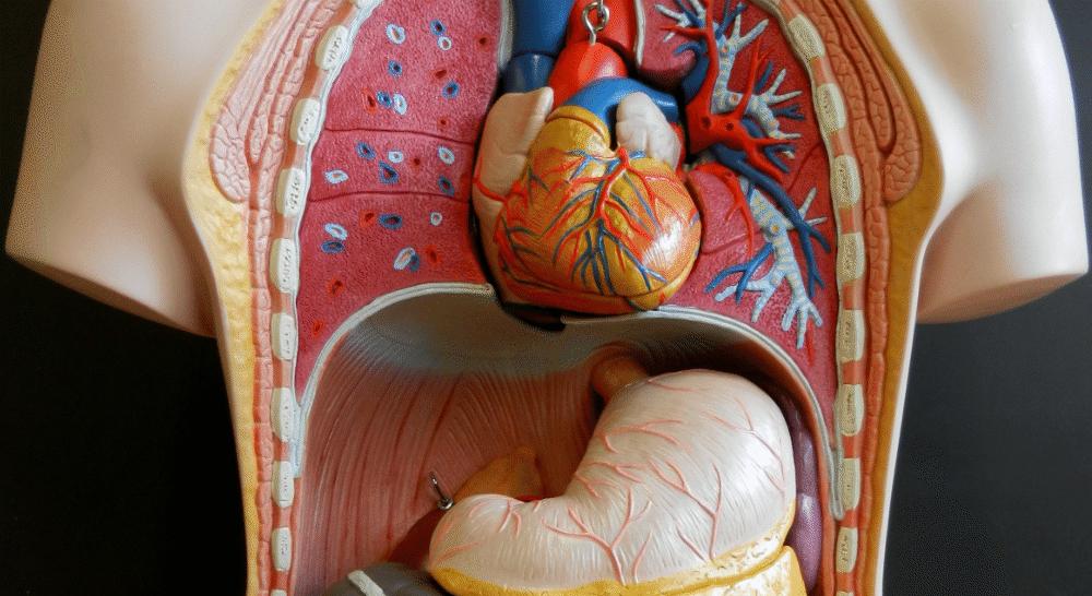 Organspende: Der Körper als Ressource? | Blätter für deutsche und ...